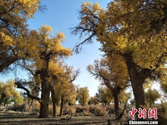 """中国""""植物化石""""胡杨林区迎来旅游""""白热化"""""""